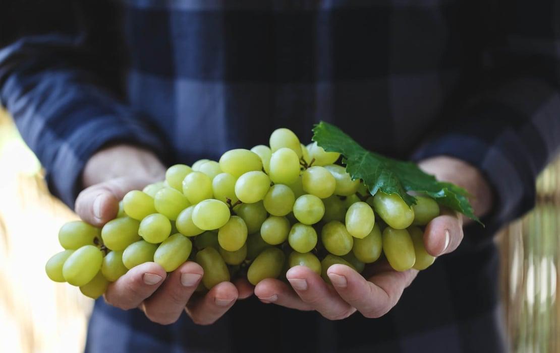 Reducir pérdidas en poscosecha de uvas de mesa