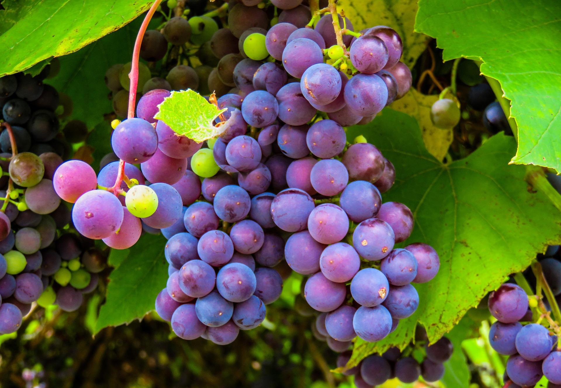 Cómo reducir hasta en 94% el daño a cultivos de uva: casos de estudio